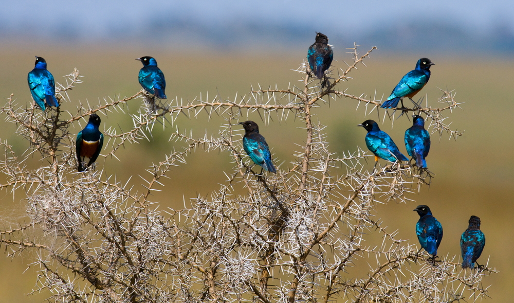 bird photography. Superb starling. Tanzania. Africa. Beautiful Birds. An excellent illustration. shutterstock_306166922